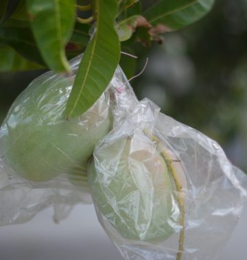 Công ty TNHH Chớp Ngay 41290789422_c7caa5af1a_o-360x380 Túi bao bảo vệ trái cây BIKOO BIKOO Túi bảo vệ quả