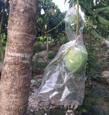 Công ty TNHH Chớp Ngay baoxoaiut-360x380 túi bao lên màu xoài úc -Công nghệ nano BIKOO Túi bảo vệ quả  xoài úc trái bao nano công nghệ bikoo bao trái