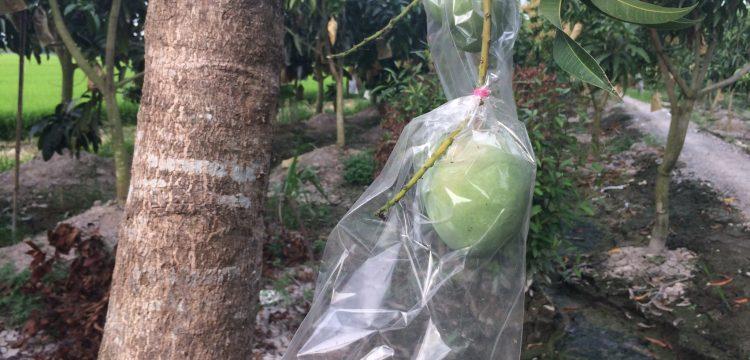 Công ty TNHH Chớp Ngay baoxoaiut-750x360 túi bao lên màu xoài úc -Công nghệ nano BIKOO Túi bảo vệ quả  xoài úc trái bao nano công nghệ bikoo bao trái