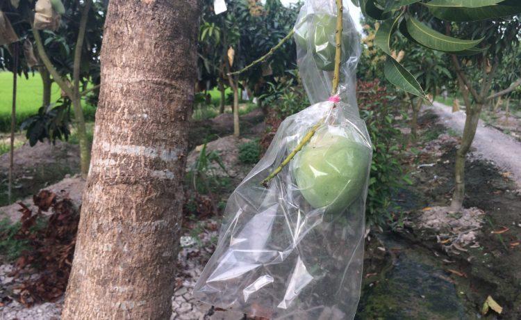 Công ty TNHH Chớp Ngay baoxoaiut-750x460 túi bao lên màu xoài úc -Công nghệ nano BIKOO Túi bảo vệ quả  xoài úc trái bao nano công nghệ bikoo bao trái